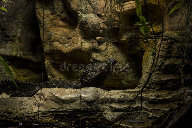 Closeup photo of a big crocodile. Macro photography of reptile in rocks stock photography