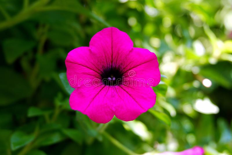 Beautiful Pink Petunia Flower Blooming in the Garden royalty free stock photos