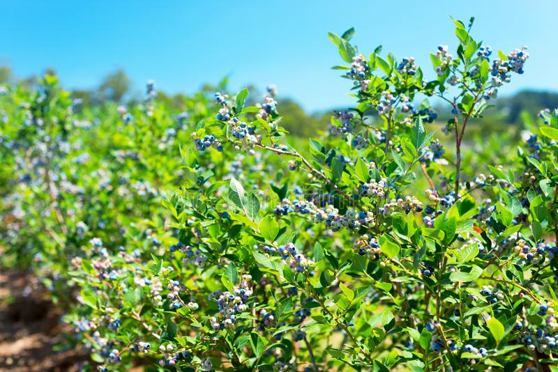 Blueberry plants with berries on the row stock photography