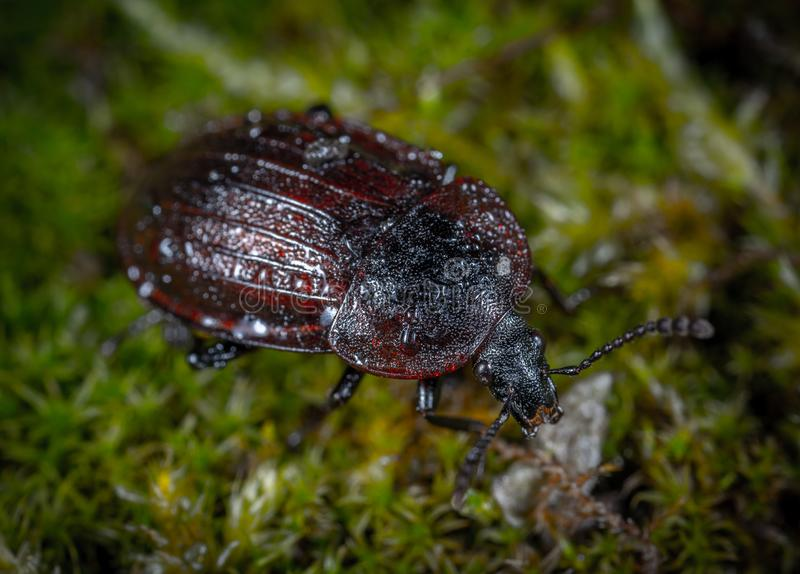 Closeup Photo of Brown and Black Beetle on Green Grass stock image