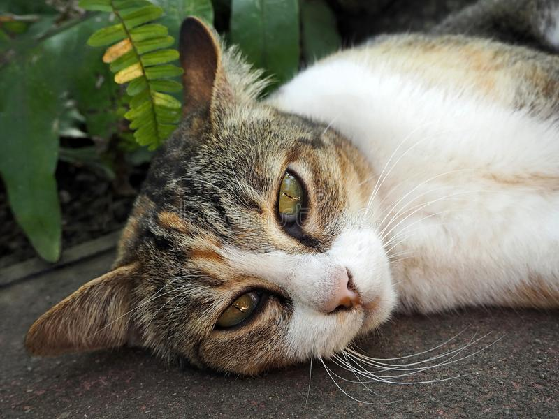 Lovely Brown and White Tabby Cat royalty free stock image