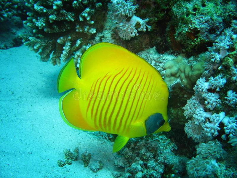 Closeup photo of butterfly fish. it is among the coral in wildlife. royalty free stock photo