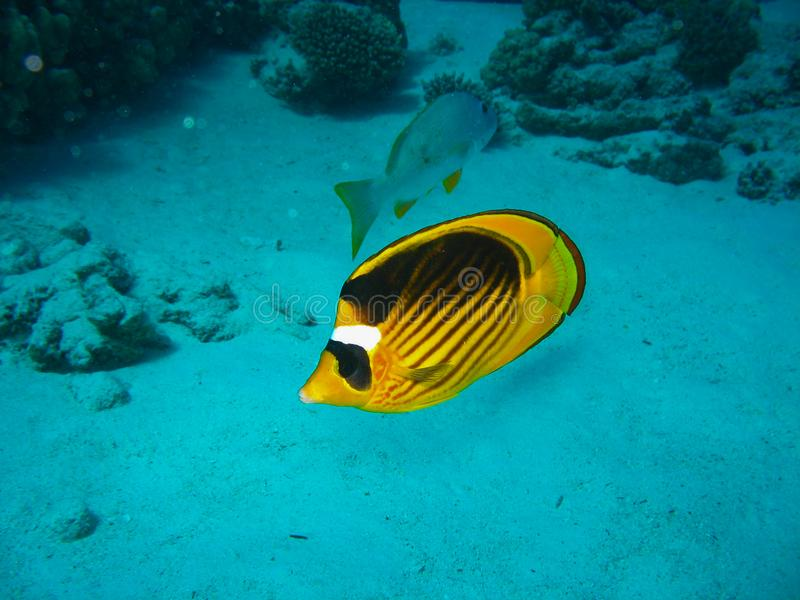Closeup photo of butterfly fish. It has orange color with black line on the top of the body and white spot near eyes. stock photo