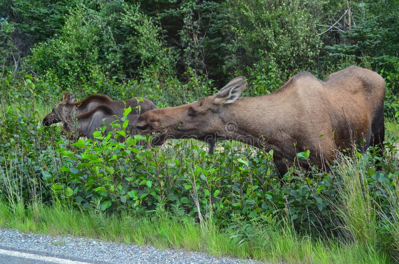 Closeup photo of a cow moose eating grass in Denali National Park and Preserve, Alaska, United States.  stock images