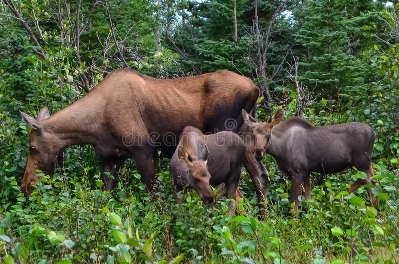 Closeup photo of a cow moose with two baby calves eating grass in Denali National Park and Preserve, Alaska, United. States royalty free stock images