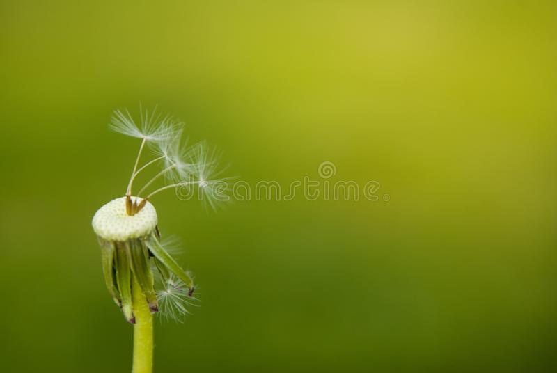 Closeup photo of dandelion seeds on green background. Copy space. royalty free stock photos