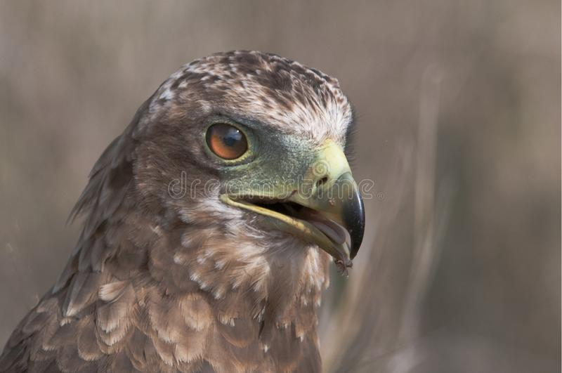 Closeup Photo de Falcon photographie stock