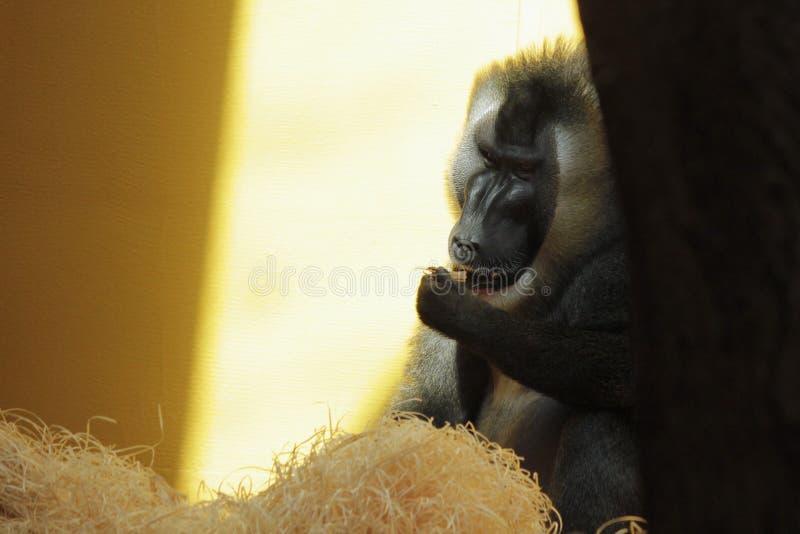Closeup photo of eating gorilla royalty free stock photography