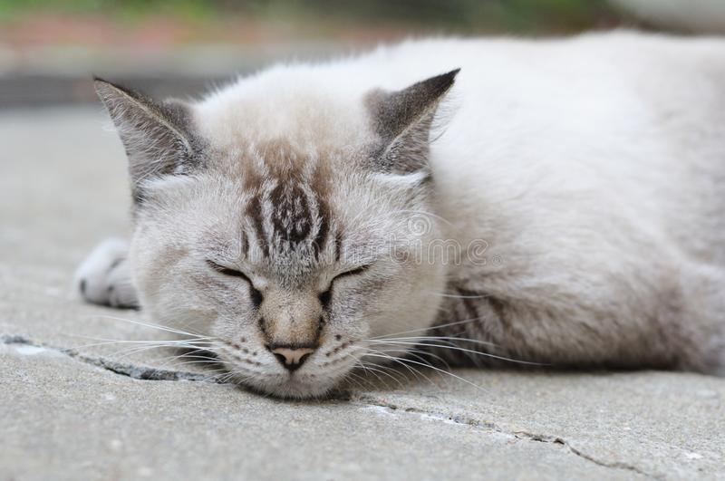 A closeup photo of a fat sleeping lynx-point siamese cat stock image