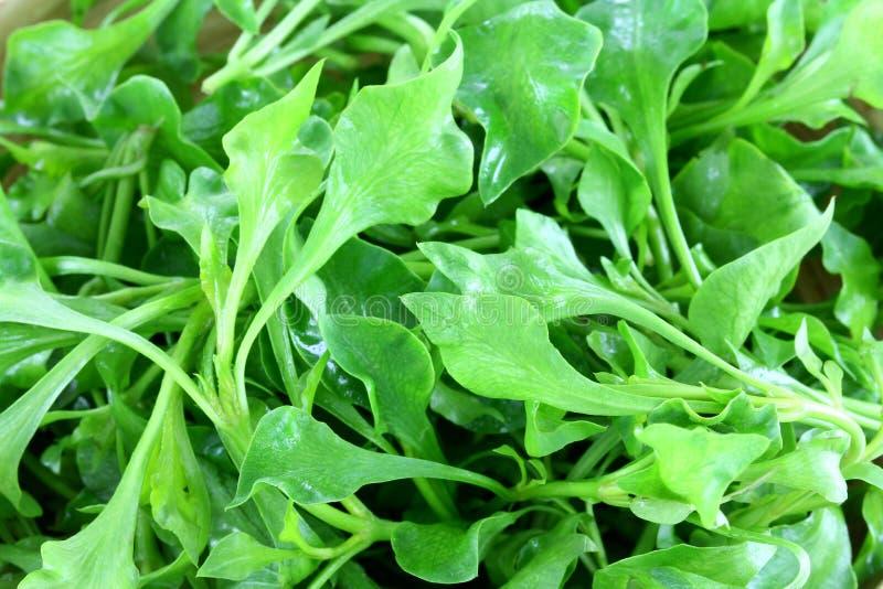 Closeup photo of Fresh Watercress stock images