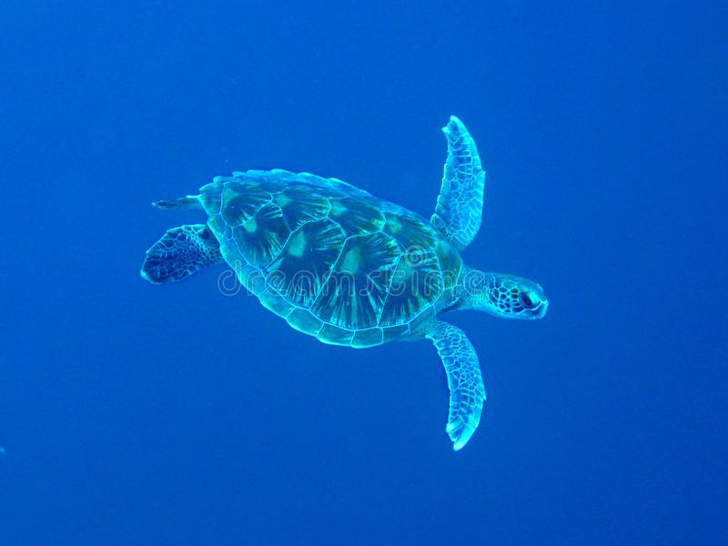 The closeup photo of gigantic sea turtle was made in wildlife. It looks like the turtle is flying under the sea with straightened stock photography