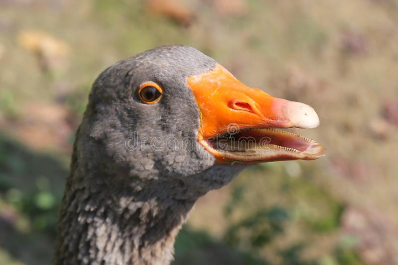 Closeup about a goose head royalty free stock image
