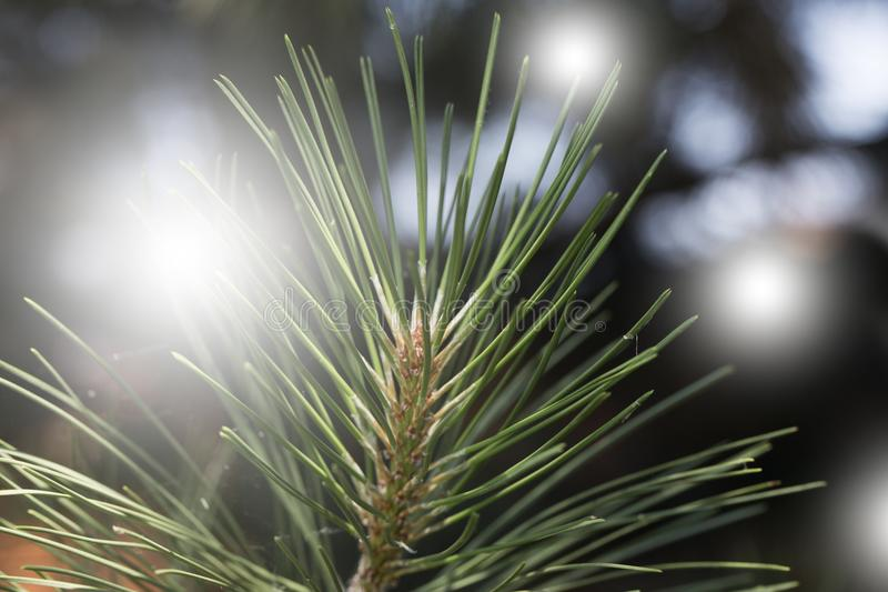 Closeup photo of green needle pine tree. royalty free stock image