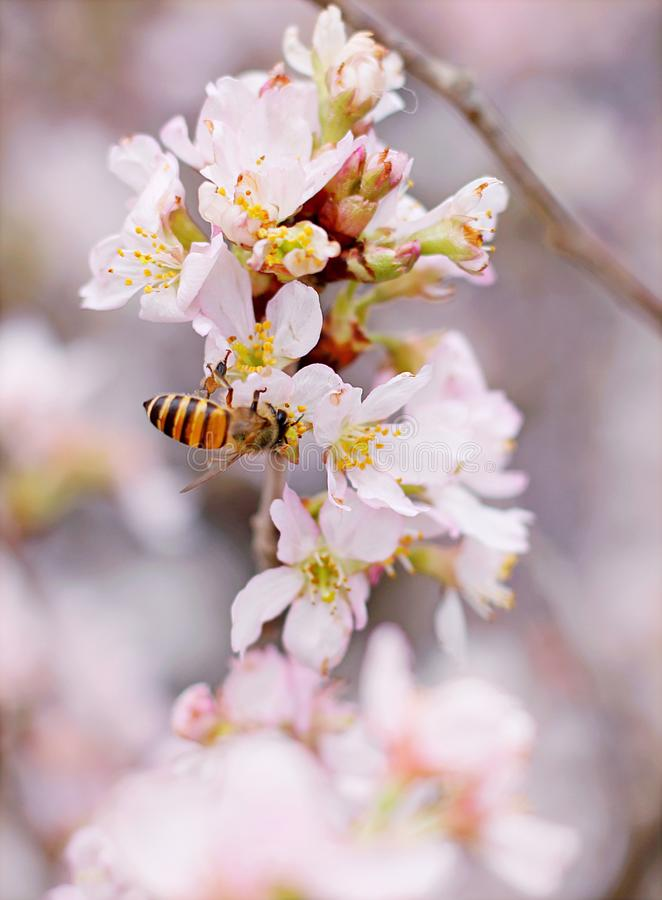 Closeup Photo of Honeybee Perched on Pink-and-white Cluster Flowers royalty free stock photography