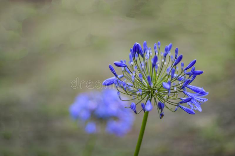 Selective focus of African Blue Lily flower, in purple blue shade. royalty free stock photo