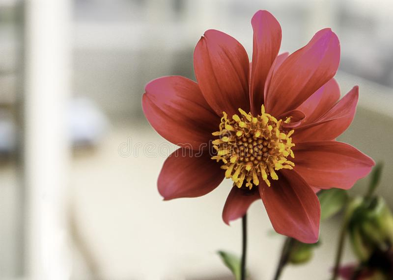 Pretty Scarlet Dahlia with in Closeup royalty free stock photos