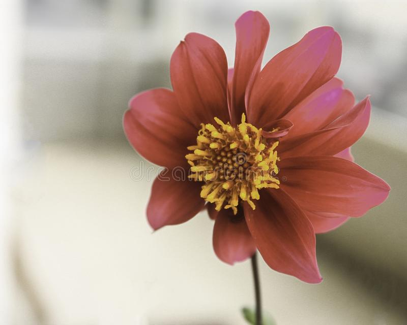 Pretty Scarlet Dahlia with in Closeup royalty free stock image