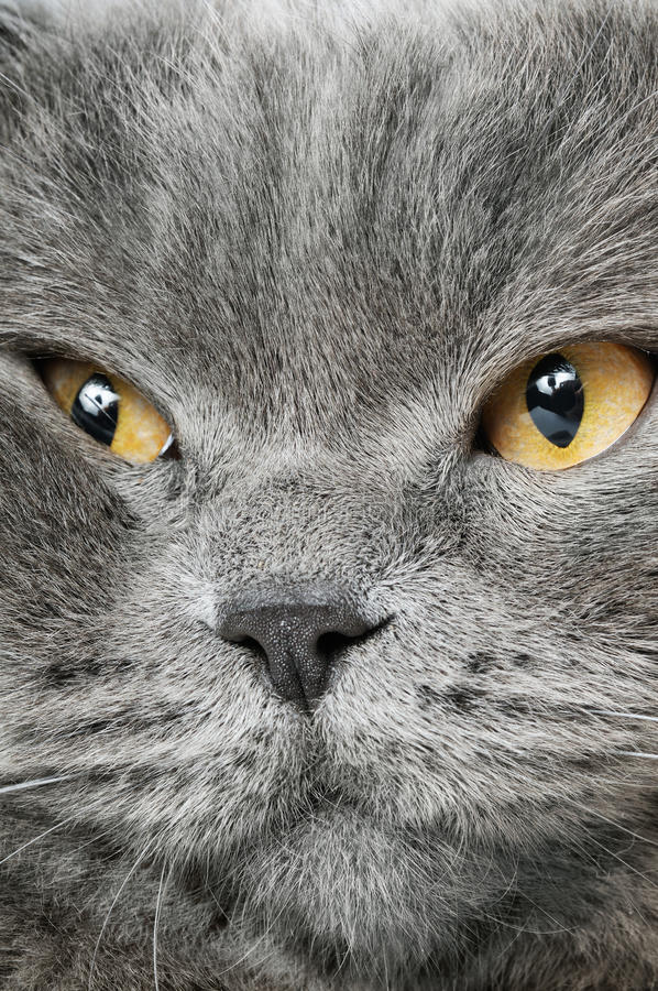 Download Closeup Photo Of A Quiet British Cat Stock Image - Image: 23223117