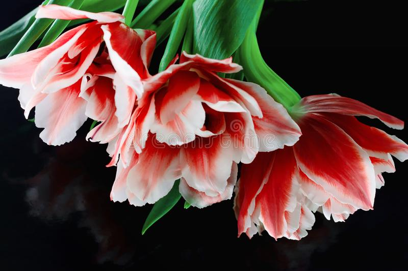 Closeup photo of red tulip, abstract floral background. Spring time nature detail. A bunch of tulips on a black background. An stock photos