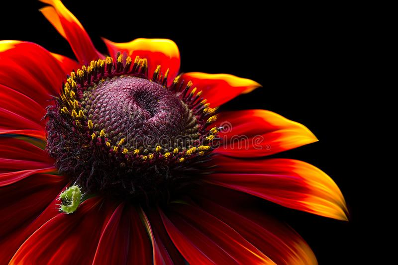 Closeup Photo of Red-and-yellow Petaled Flower stock images