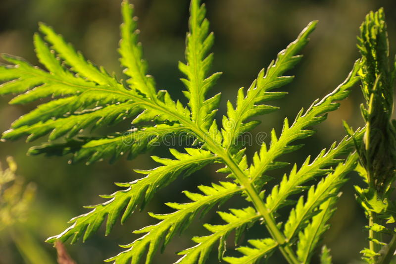 Closeup photo of a shield fern in the nature illuminate by a sunset royalty free stock photography