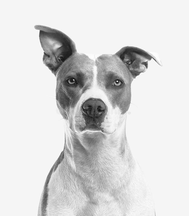 Closeup Photo of Short-coated White and Gray Dog royalty free stock photos