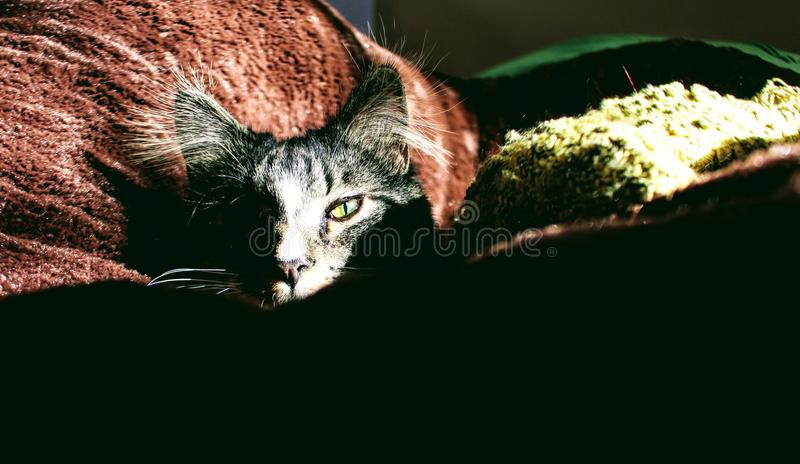 Closeup Photo of Silver Tabby Cat on Red Textile stock image