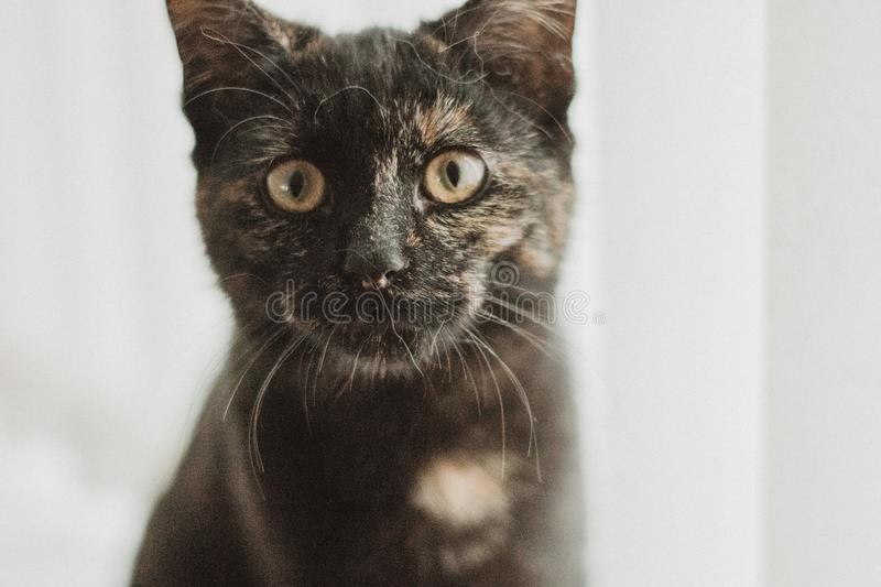 Closeup Photo of Tortoiseshell Cat stock photography