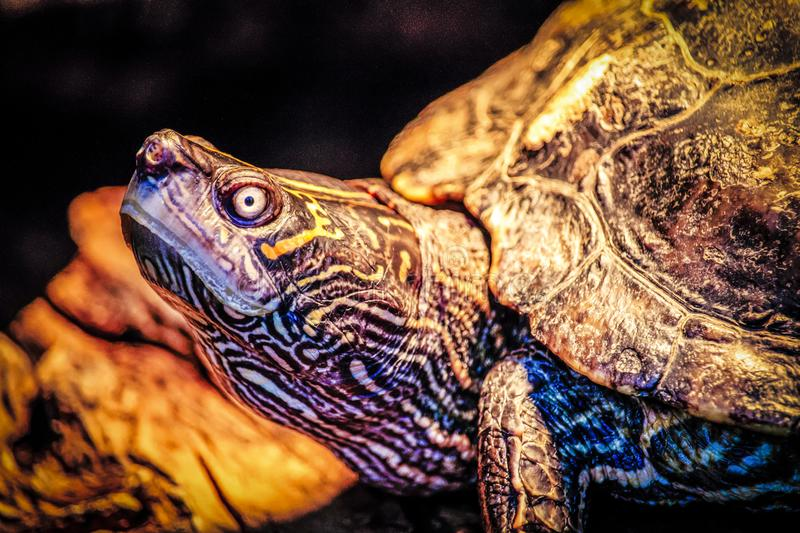 Closeup Photo of Turtle royalty free stock images