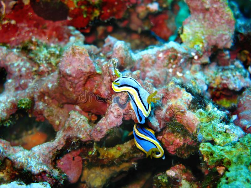 Closeup photo of two blue and yellow Philippines nudibranchs sea slugs in wildlife on the colorful coral background. royalty free stock photography
