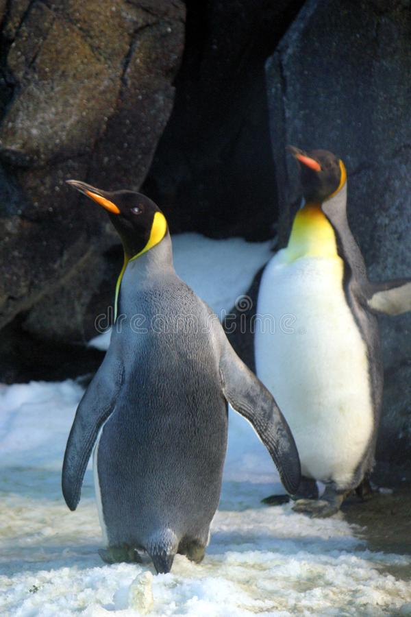 Closeup Photo of Two Penguins stock images