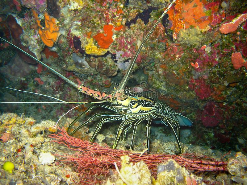 Closeup photo of wildlife underwater lobster. It has a pink and blue color. Lobster is coming out from the colorful coral. Lobster has a long mustache royalty free stock photos