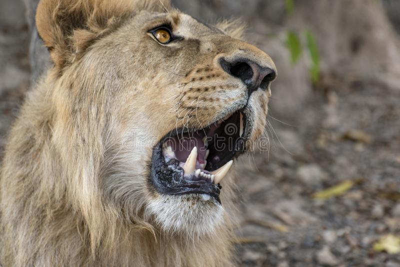 Closeup photograph of a young male lion snarling and looking intimidating. Africa royalty free stock photos