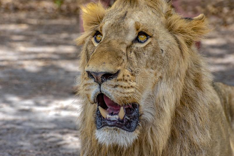 Closeup photograph of a young male lion snarling and looking intimidating. Africa royalty free stock photography