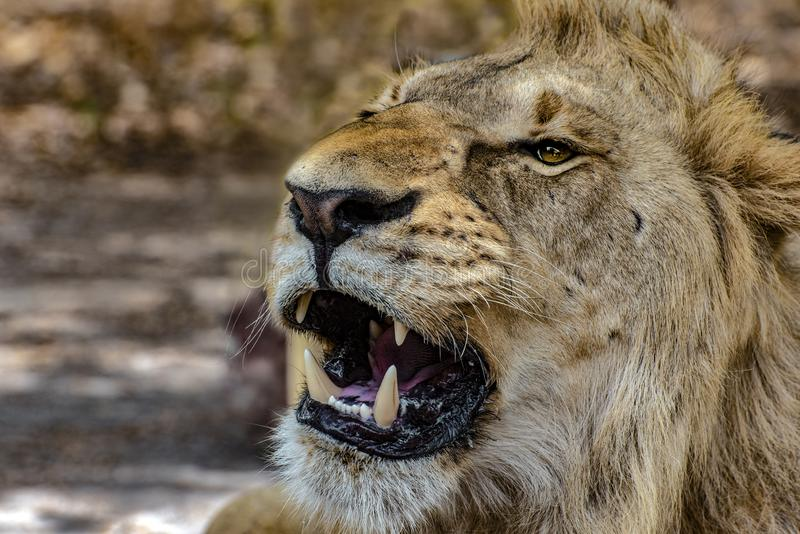 Closeup photograph of a young male lion snarling and looking intimidating. Africa stock photos