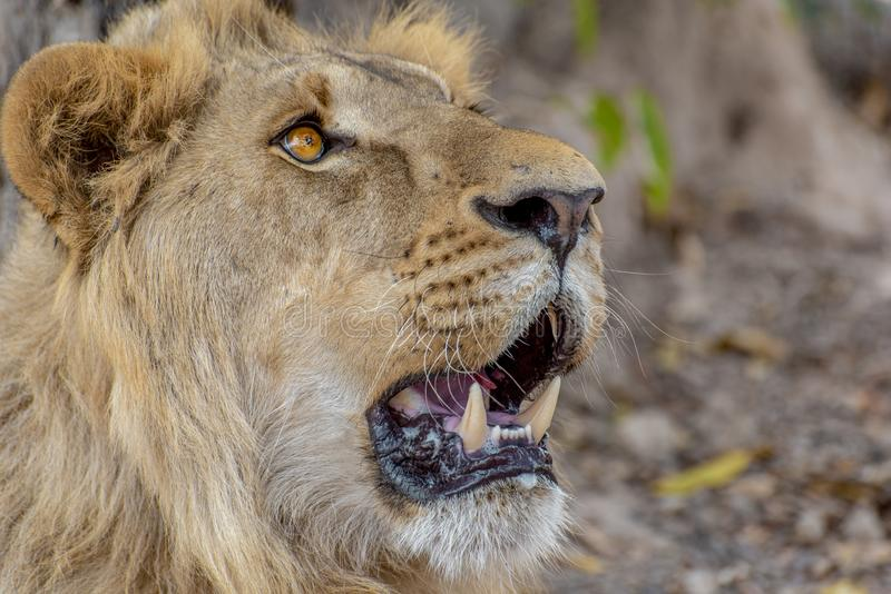 Closeup photograph of a young male lion snarling and looking intimidating. Africa royalty free stock images