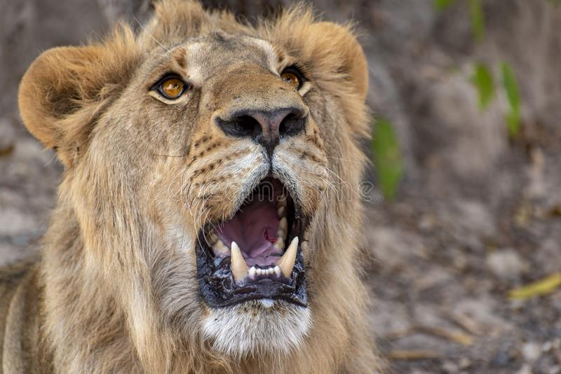 Closeup photograph of a young male lion snarling and looking intimidating. Africa stock photography
