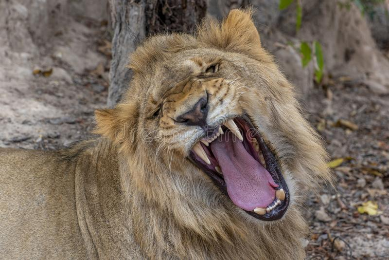 Closeup photograph of a young male lion snarling and looking intimidating. Africa stock image