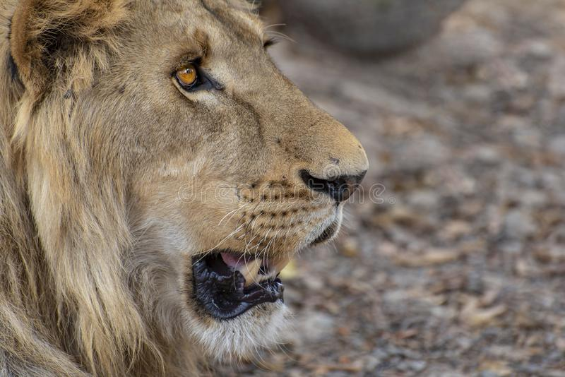 Closeup photograph of a young male lion snarling and looking intimidating. Africa stock images