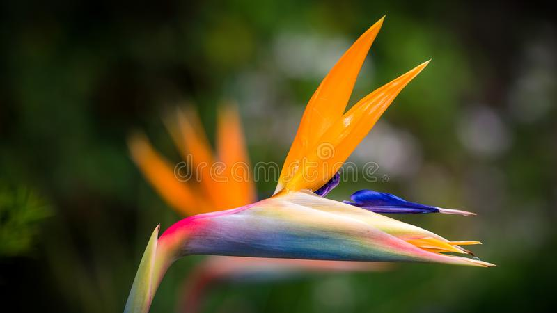 Closeup Photography of Bird of Paradise Flower royalty free stock photography