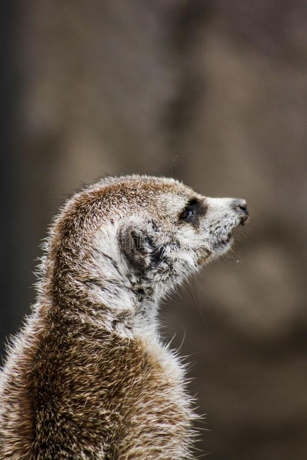 Closeup Photography of Brown Meerkat stock photos
