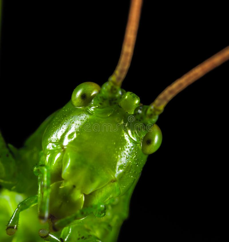 Closeup Photography of Green Grasshopper stock image