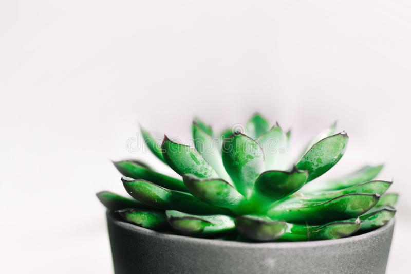 Closeup Photography of Green Succulent Plant in Gray Pot royalty free stock photos