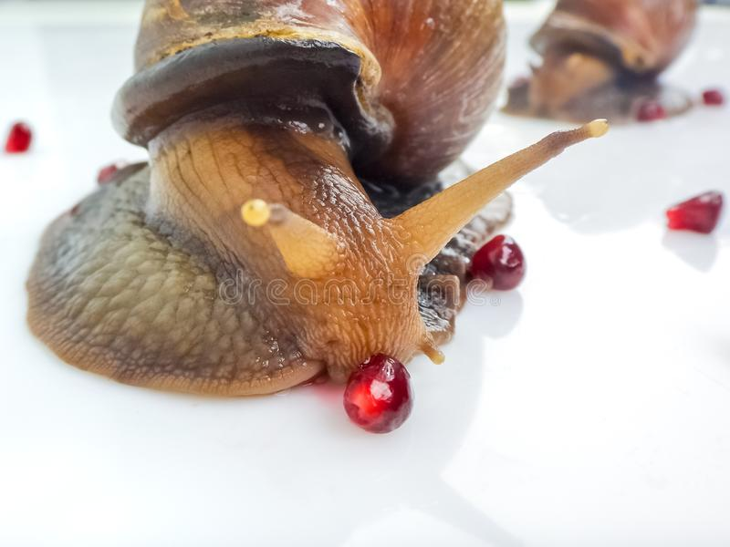 Closeup photography of a one giant snail in the Studio on a white glossy surface and blurred background with red berries fruit of stock photography