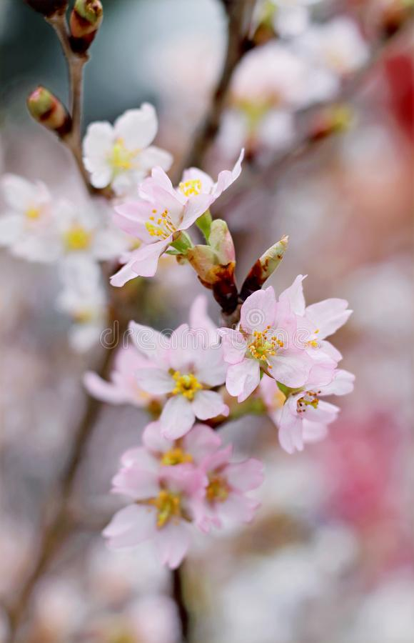 Closeup Photography Of Pink Cherry Blossoms royalty free stock photography