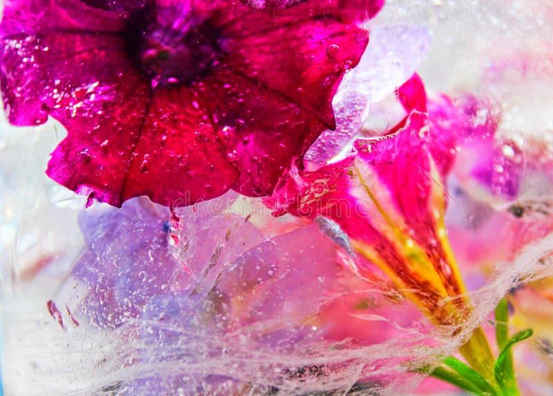 Closeup Photography of Pink Petunia Flower royalty free stock photos