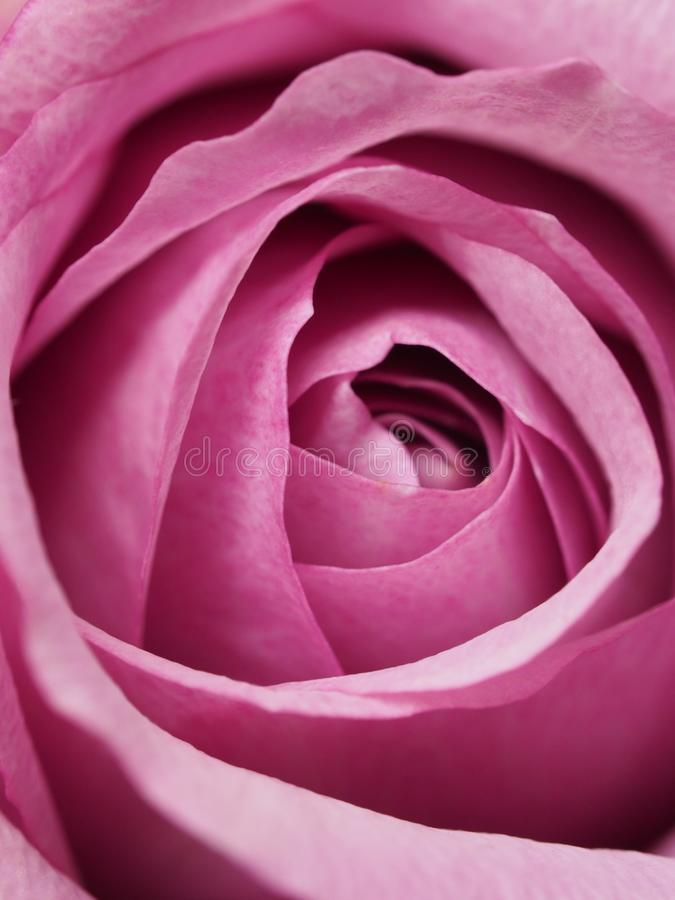 Closeup Photography of Pink Rose Flower royalty free stock photo