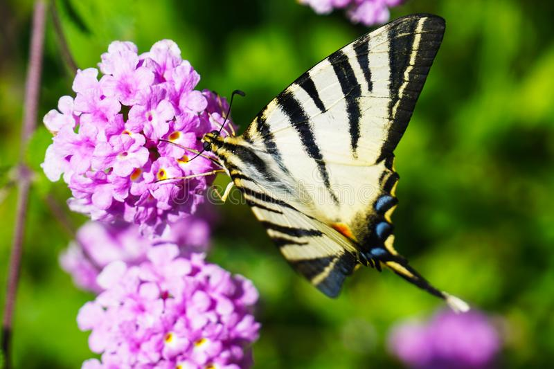 Closeup Photography of Tiger Swallowtail Butterfly Perched on Purple Cluster Petaled Flowers royalty free stock photo