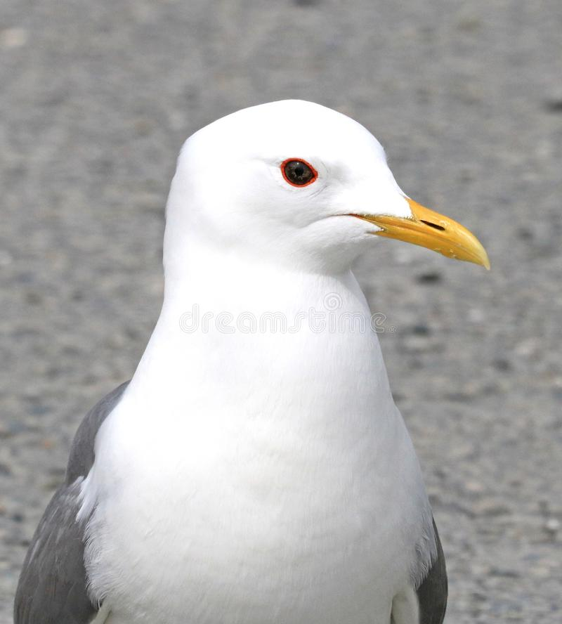 Closeup Photography of White and Grey Seagull royalty free stock photography