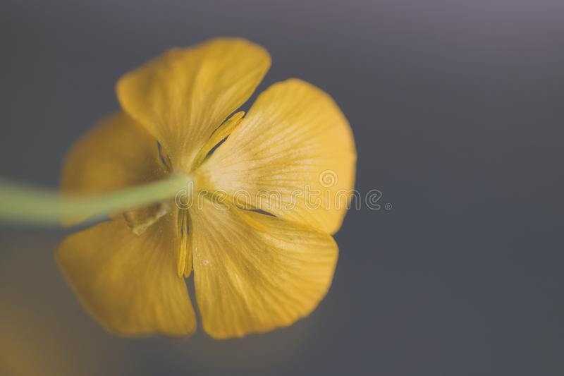 Closeup Photography of Yellow Buttercup Flower stock photo